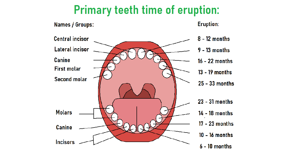 How many teeth do humans have